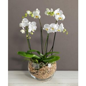 Orchid in glass bowl